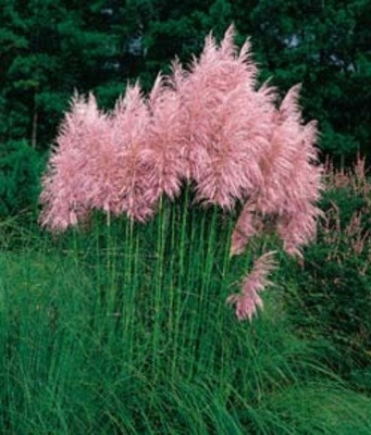 Pink Pampas Grass - 200 Seeds