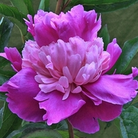 Pink Pompadour Peony - 1 root division