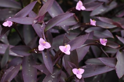"Purple Heart Plant - Setcreasea - Indoors or Out - Easy - 4"" Pot"