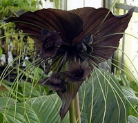 "Rare Black Bat Plant -Tacca chanterii - Exotic Houseplant - 4"" Pot"
