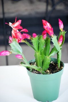 Red Christmas Cactus Plant - Zygocactus - 4 Inch Pot