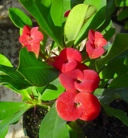 Red Crown of Thorns Plant - Euphorbia splendens