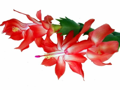 RED DANCER CHRISTMAS CACTUS PLANT - ZYGOCACTUS - 2.5'' POT