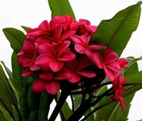 "Red Plumeria Plant - Frangipani - 4"" pot - Grafted"