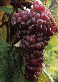 Reliance Seedless Grape Plant - Jellies/Juice