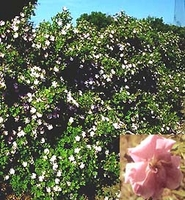 Rosa Hansen Hedge