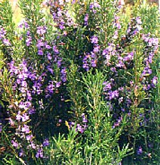 Rosemary Plant - Great Gift for Indoors or Out