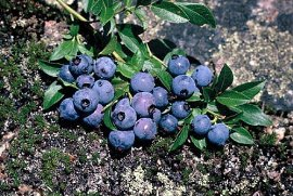 "Ruby Carpet Groundcover Blueberry Plant - 4"" Pot -Edible Grouncover -"