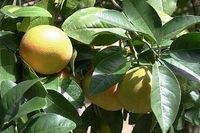 Ruby Red Grapefruit Tree - Fruiting Size