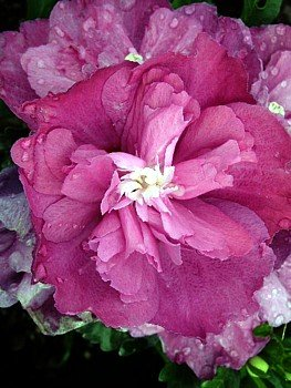 Sanchoyo Rose of Sharon-Hibiscus - Deep Pink Peony Color