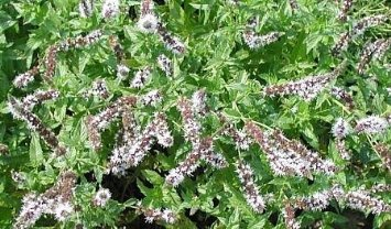 Spearmint Herb Plant