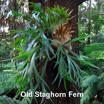 Staghorn Fern 4 Inch Hanging Basket