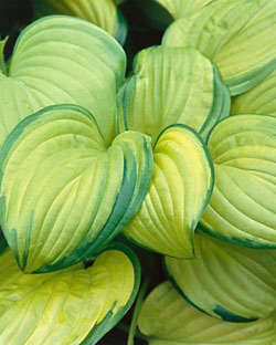 Stained Glass Hosta - 2 root divisions