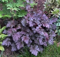 Stormy Seas Fancy Leaf Coral Bells - Heuchera
