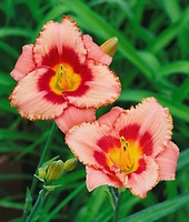 Strawberry Candy Daylilies - 2 root divisions