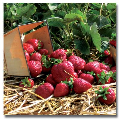 Strawberry Plants - Quinault - Everbearer