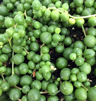 String of Pearls - Senecio - Easy to Grow