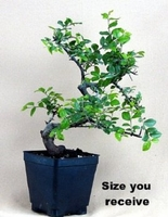 Stylized Japanese Ligustrum Bonsai Tree