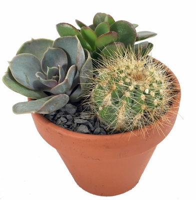 "SUCCULENT GARDEN - EASY TO GROW! - 3"" POT - 3 DIFFERENT PLANTS"