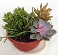 "SUCCULENT GARDEN - EASY TO GROW! - 6"" POT - 4 DIFFERENT PLANTS"