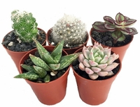 "SUCCULENT TERRARIUM/FAIRY GARDEN PLANTS - 5 DIFFERENT PLANTS - 1.75"" P"