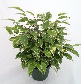tarlight Weeping Fig Tree - Indoor Tree/Bonsai/Fairy Garden -Ficus