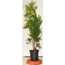 Thuja Green Giant 15''-3 feet (1 Gallon Pot)