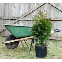 Thuja Green Giant  2.5' - 4 feet (3 gallon pot)