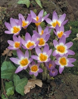 Tri-Color Species Crocus - 5 bulbs