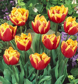 Tulip - Double Late - Double Focus