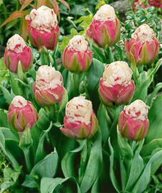 Tulip Double Late Ice Cream