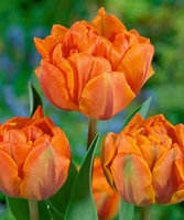 Tulip - Double Late - Orange Princess