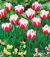 Tulip - Double Late - Wirosa