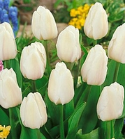 Tulip - Single Early - White Marvel