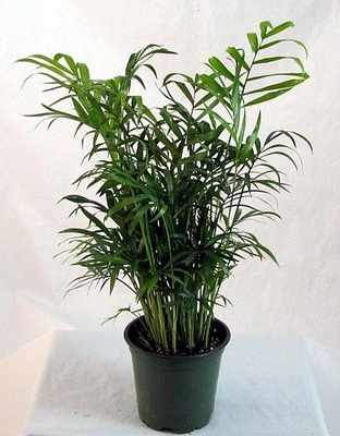 "Victorian Parlor Palm - Chamaedorea - Indestructable - 4"" Pot"