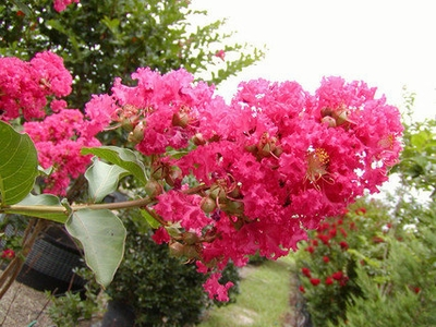 Watermelon Color Crape Myrtle Tree