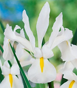White Perfection Dutch Iris