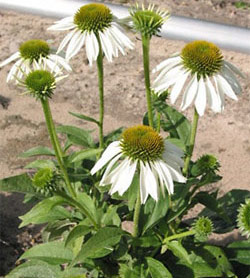 White Swan Coneflower - 2 root divisions