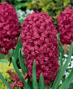 Woodstock Hyacinth - 5 bulbs
