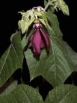 100 Seeds Devil's Cotton Abroma augusta