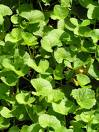 500 Gotu kola Seeds,  Centella asiatica  Seeds, Indian pennywort Plant Seeds