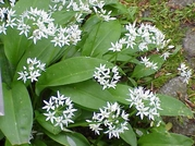 1000 ALLIUM URSINUM SEEDS , RAMSONS SEEDS, WILD GARLIC SEEDS