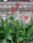 150 Seeds Indian shot CANNA indica
