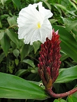 100   Costus speciosus Seeds ,Crape Ginger Seeds , Cheilocostus speciosus Seeds , Malay ginger Seeds