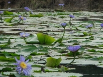 500 grams Nymphaea caerulea Blue Lotus Petals
