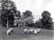 Sheep in Prospect Park meadow when Brooklyn was still a city, 1887