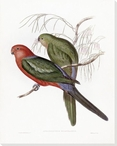 Aprosmictus Scapulatus Two Birds Wrapped Canvas Giclee Print Wall Art