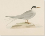 Arctic Tern Bird Wrapped Canvas Giclee Print Wall Art