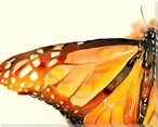 Big Monarch Butterfly Wrapped Canvas Giclee Print Wall Art