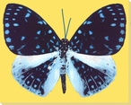 Blue Butterfly Study Wrapped Canvas Giclee Print Wall Art